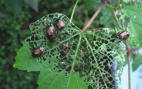 asian beetle allergy jpg 1080x675